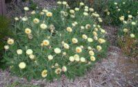 xerochrysum-bracteatum_everlasting-daisy_cockatoo