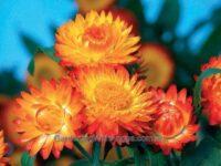 Xerochrysum bracteatum everlasting daisy 'Sundaze Bronze'