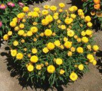 Xerochrysum bracteatum everlasting daisy 'Sundaze Everlasting Gold'