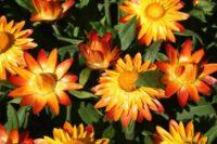 Xerochrysum bracteatum everlasting daisy 'Sundaze Flame'