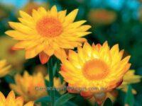 Xerochrysum bracteatum everlasting daisy 'Sundaze Gold'