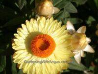 Xerochrysum bracteatum everlasting daisy 'Sundaze Lemon'