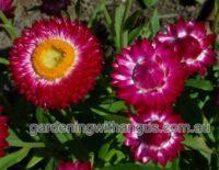 xerochrysum bracteatum everlasting daisy wallaby cherry