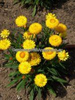 xerochrysum bracteatum everlasting daisy 'Wallaby Gold'