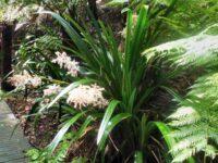 Helmholtzia glaberimma - Stream Lily