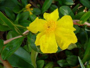 Hibbertia scandens - snake vine