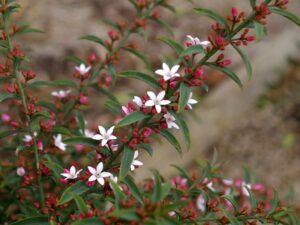 Philotheca myoporoides wax-flower 'Ruby Cascade'