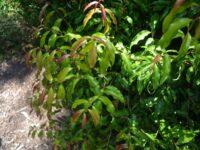 Syzygium anisatum - Aniseed myrtle