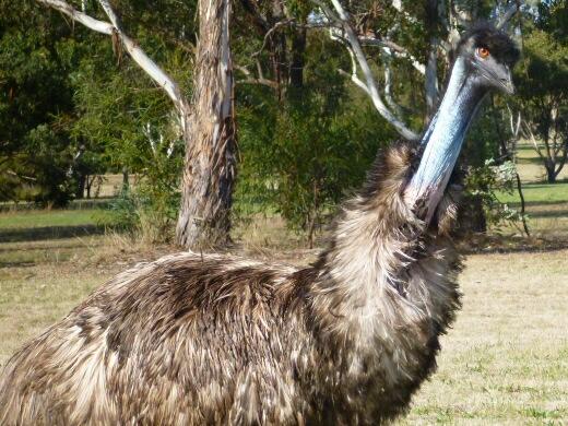 Beady eyed emu