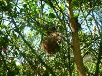 Bird nest in a spiky Citrus australasica