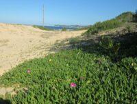 Carpobrotus Rossii Growing On Pure Sand