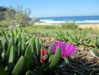 Carpobrotus Rossii Growing Near The Beach With A Ripe Seed Pod