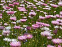 Everlasting Daisy Meadow At Kings Park Botanic Garens
