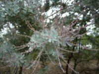 acacia baileyana in bud