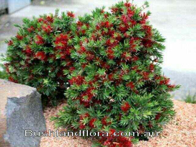 newsletter  6  u2013 september 2014  u2013 wattle day and extreme gardening  u2013 part 5