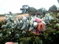 eucalyptus macrocarpa mottlecah