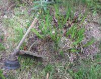 kangaroo paw hard pruning reshooting
