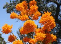 nuytsia floribunda west australian christmas bush