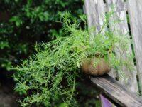 Apium prostratum - sea celery