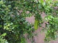 Citrus australasica native citrus 'Gree Sapphire'