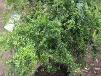 Citrus australasica native finger lime 'Green Sapphire'