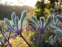 anigozanthos flavidus kangaroo paw landscape violet is a hardy plant