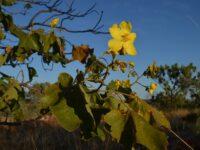 Cochlospermum fraseri - Kapok from tropical Australia