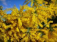 acacia baileyana cootamundra wattle
