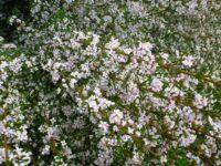 Boronia anemonifolia - sticky boronia