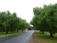Brachychiton populneus - Kurrajong tree
