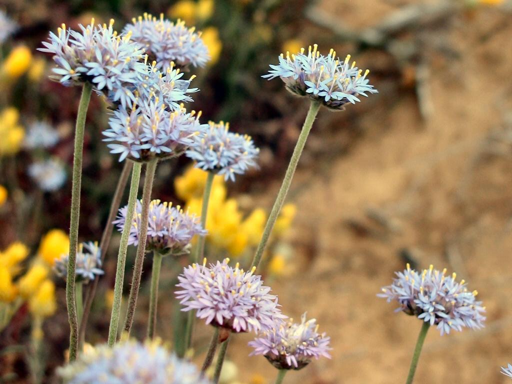 Brunonia Australis Blue Pincushion Flower Gardening With Angus
