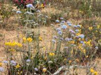 Brunonia australis - blue pincushion flower