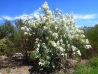 Bursaria spinosa - sweet bursaria flowers round Christmas time