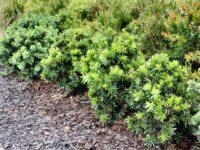 Callistemon viminalis bottlebrush 'Green John'