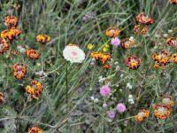 West Australian wildflowers
