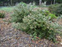 Adenanthos x cunninghamii - Albany woollybush is hardy