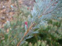Adenanthos x cunninghamii - Albany woollybush flower