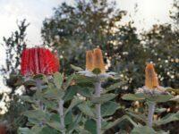 Banksia coccinea - scarlet banksia