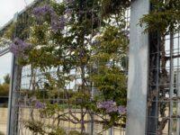 Callerya megasperma - native wisteria