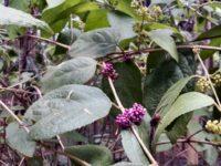 Callicarpa pedunculata - velvet leaf has bird attracting berries
