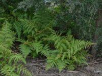 Calochlaena dubia - bracken fern