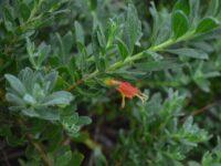 Eremophila glabra 'Amber Carpet'