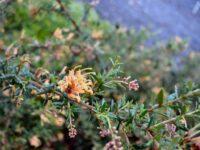 Grevillea juniperina 'Carpet Queen' is a hardy drought tolerant ground cover