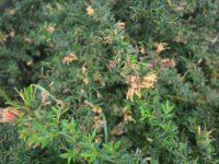 Grevillea juniperina 'Carpet Queen' is a tough australian native ground cover