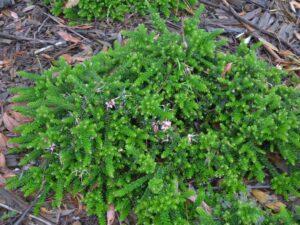 Grevillea lanigera 'Mt Tamboritha' is a great ground cover australian shrub