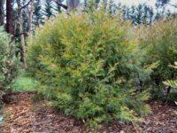 Grevillea 'Red Hooks' is a dense hardy Australian large shrub