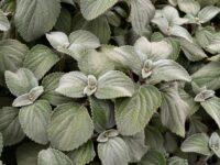 Plectranthus nitidus - silver Plectranthus