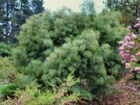 Acacia cognata 'Burgundy Cascade' has weeping foliage