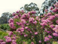 Callistemon 'Bronwen' is a great pink bottlebrush