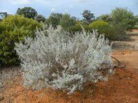 Eremophila bowmanii ssp latifolia - Velvet fuschia bush
